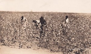 Gathering Cotton Indian Old Real Photo Postcard