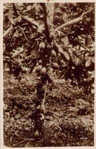 Ghana Gold Coast Cocoa tree real photo Postcard