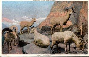 Wiconsin Milwaukee Public Museum Mountain Sheep Detroit Publishing