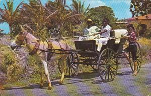Barbados Old Donkey Draw Buggy On Country Road