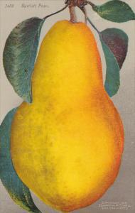 Edward H Mitchell Bartlett Pear