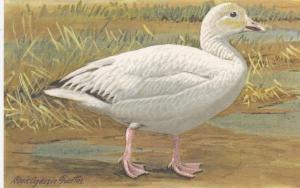 Snow Goose, Chen Hyperborea, , Louis Agassiz Fuertes, PU-1965