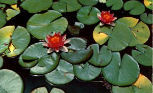 PA - Erie. Peninsula State Park, Water Lilies in Lagoons