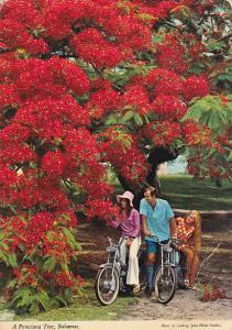 Bahamas A Poinciana Tree