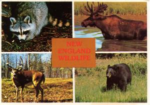 New England Wildlife - Moose, Bear, Deer, Raccoon