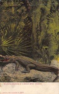 Alligator Sunning Florida, USA Alligator 1908