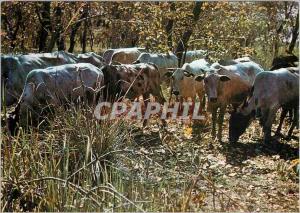 Postcard Modern Chad Loumra Herd of Bulls