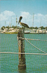 Florida Miami Pelican Enjoying The Sun