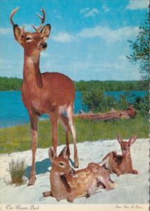 Deer The Majestic Buck Souvenir Riviere-du-Loup Quebec Canada
