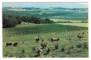 Wisconsin Americas Dairyland Panorama Fields Cows Farm Veiw Vntg 60s Postcard