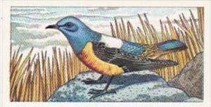 Glengettie Tea Trade Card Rare British Birds No 13 Rockthrush
