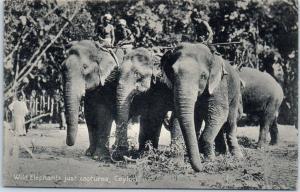 Ceylon Sri Lanka Postcard Wild Elephants Just Captured c1910s Unused