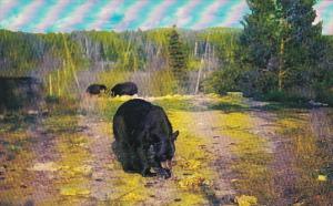 Canada Black Bears Near Killarney Lodge Algonquin Park Ontario