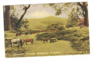Exmoor Ponies, Dunkery Beacon, Somerset, England, UK 1900-1910s
