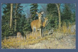 Red Deer Algonquin Provincial Park Ontario, Canada Postcard Wildlife