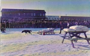 Canada Yukon Whitehorse One Dog Pull Contest In Yukon Sourdough Rendezvous