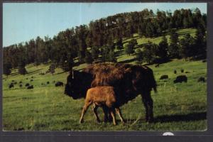 Buffalo Herd,Custer State Park,Black Hills,SD BIN
