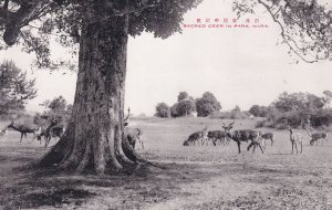 Sacred Deer in Nara Park Old Japanese Postcard
