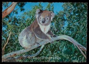 A Quaint Koala