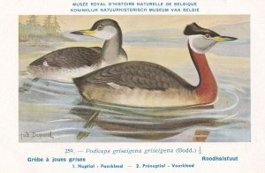Red Necked Grebe Podiceps Grisegena WW2 Bird Rare Postcard