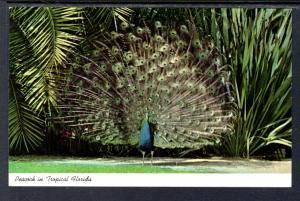 Peacock in Tropical Florida Bird BIN