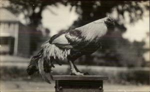 Close-Up Chicken on Stand breeding? c1910 Unidentified Real Photo Postcard