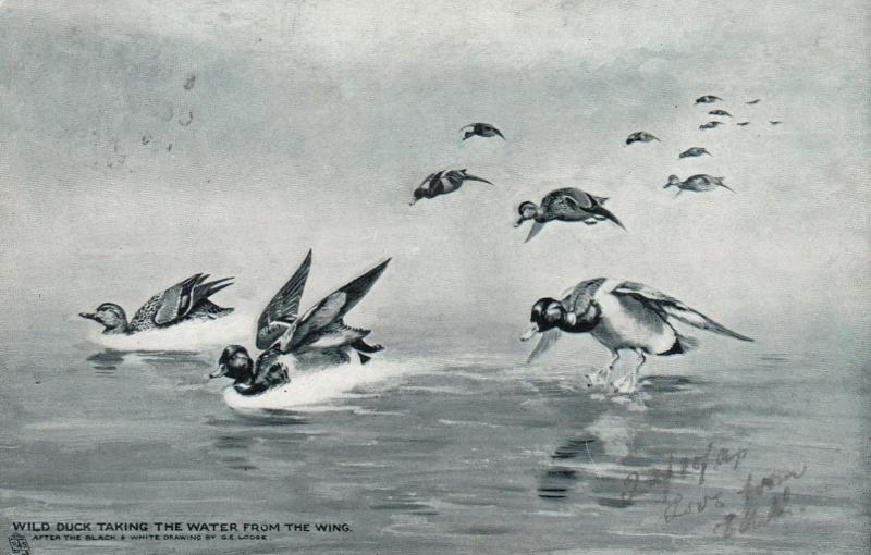 Wild Duck taking to the water from wing , 1904 ; TUCK 6832