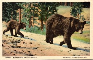 Yellowstone National Park Mother Bear and Cub Hiking Curteich