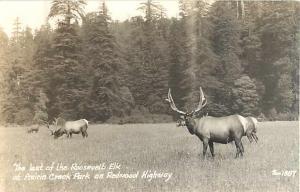Roosevelt at Prairie Creek Park Redwood Highway California CA Real Photo
