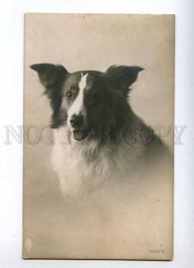 215962 Portrait of COLLIE Beauty Vintage PHOTO PFB 2937-5 PC