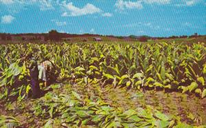 Harvesting Burley Tobacco