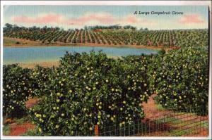 Large Grapefruit Grove