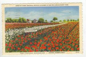 Oriental Poppy Field in Bloom, The Fischer Nurseries, Easton, Pennsylvania, 1...