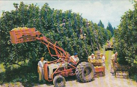 Florida Miami Beach Citrus Harvest In Florida
