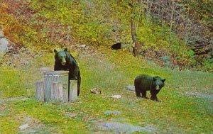Black Bear With Garbage Pails Adirondack Mountains New York