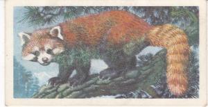 Trade Card Brooke Bond Tea Asian Wild Life No 21 Red Panda