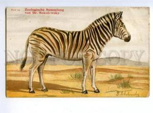 143704 Hunt Burchell ZEBRA Equus burchellii SOKOLOWSKY vintage
