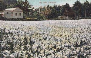 BERMUDA, PU-1913; Lily Field