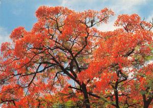 Postcard Flowering Flamboyant, Poinciana Regia, South Africa #M18