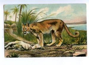 168806 HUNT Cat  COUGAR near Palm Vintage Color PC