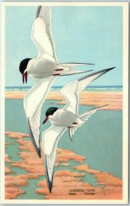 Artist-Signed JAQUES Postcard Common Tern National Wildlife Federation 1939