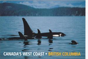Orca / Killer Whale, West Coast , B.C. , Canada , 60-80s 3/3