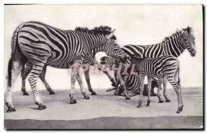 Postcard Old Field Museum of Natural History Chicago Transvaal Zebra Zebra
