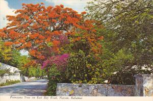 Bahamas Nassau Poinciana Tree On East Bay Road