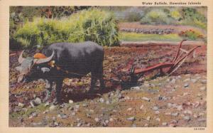 HAWAII, 30-40s; Water Buffalo tied to Plow