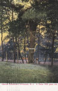 WILDWOOD, New Jersey, PU-1909; Before Columbus, A Cedar 500 Yrs old