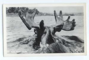 RPPC of Kenai Moose Swimming in a River in Alaska AK