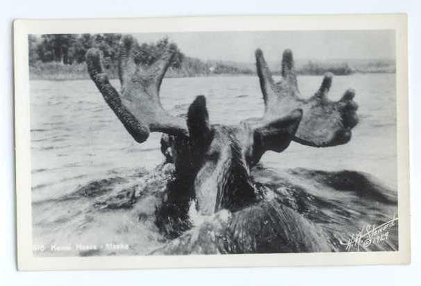 RPPC of Kenai Moose Swimming in a River in Alaska AK