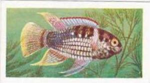 Mitchum Foods Vintage Trade Card Aquarium Fish 1957 2nd Series No 28 Dome Heads