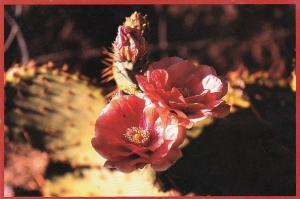 Prickly Pear Cactus Bloom Mojave Desert Barstow California